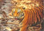 200px-Harimau_taman_safari